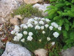 Armeria juniperifolia 'Alba'